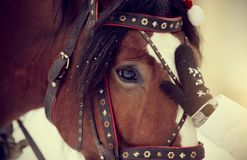 Muzzle of a horse in a harness. Muzzle of a brown horse in a harness Stock Photos