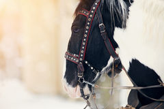 Muzzle of a horse in a harness. Stock Photos