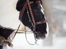 Muzzle of a horse in a harness. Stock Photo