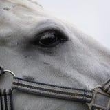 Muzzle of a horse. Horse kind eyes stock photo