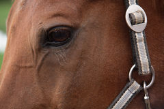 Muzzle of a horse. Horse kind eyes Royalty Free Stock Photo