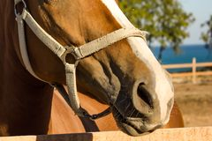 Muzzle of a horse. Topola, Bulgaria Royalty Free Stock Photography