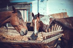 Muzzle horses eating hay Royalty Free Stock Photography