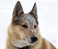 Muzzle of hunting dogs in the snow Royalty Free Stock Photos