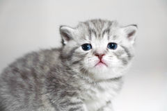 Muzzle kitten striped baby portrait Stock Image