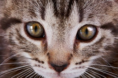 Muzzle of a kitten. Stock Image