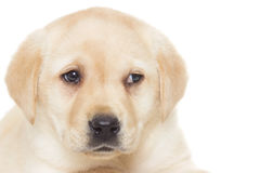Muzzle labrador puppy Royalty Free Stock Image