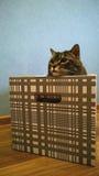 Muzzle large cat peeking out of a striped box. Muzzle surprised large cat peeking out of a striped box Stock Images