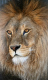 Muzzle of a lion. The muzzle of a lion looks to the left Royalty Free Stock Images