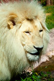 Muzzle of a lion Royalty Free Stock Photos