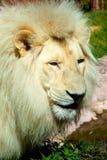 Muzzle of a lion Stock Photos