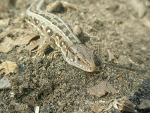 Muzzle lizard close-up. Gray-green with black spots lizard crawling on the ground Stock Photos