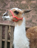 Muzzle of a llama with long neck Royalty Free Stock Image