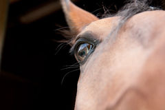 Muzzle of a Lusitano Horse Stock Images