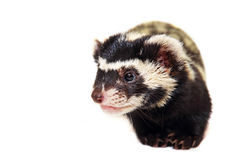 Muzzle of marbled polecat (Vormela peregusna) on white cloth bac Stock Photos