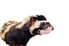 Muzzle of marbled polecat (Vormela peregusna) on white cloth bac Royalty Free Stock Photo