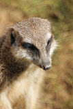 Muzzle of meerkat Stock Images