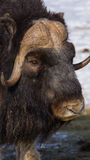Muzzle of a musk ox. Expressive muzzle of a musk ox in the winter close up Royalty Free Stock Images