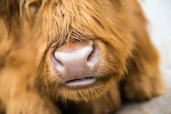 Muzzle musk ox. Royalty Free Stock Photo