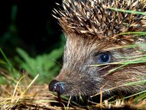 Free Muzzle Of A Hedgehog Royalty Free Stock Image - 20827676