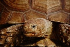 Muzzle of an old turtle close up. Wrinkled keratinous reptile skin. Skin care concept and facial rejuvenation royalty free stock image
