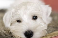 Muzzle, portrait of a puppy close-up. He is white, with a sly expression on his face