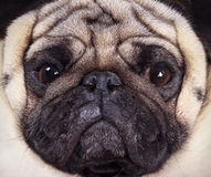 Muzzle pug Royalty Free Stock Images