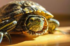 Muzzle Röd-drog tillbaka sköldpaddan fotografering för bildbyråer