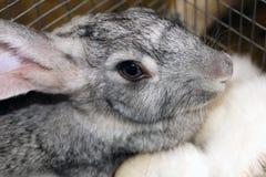 Muzzle of Rabbit Stock Photos