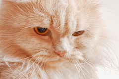 Muzzle of red angry cat Royalty Free Stock Photo