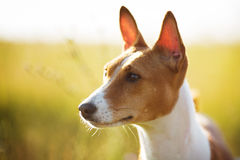 Muzzle red Basenji dog Royalty Free Stock Images