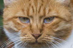Muzzle of a red cat Stock Photography