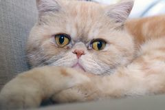 Cat exotic breed. Muzzle of a red cat exotic breed closeup stock photos