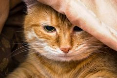 Muzzle red cat peeking out from under the blankets royalty free stock photo