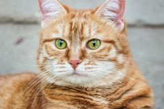 Muzzle red cat with watchful green eyes staring. Close up. Selective focus.  royalty free stock images