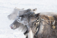 Muzzle reindeer in frost. Yamal. Shallow depth of field Stock Photos