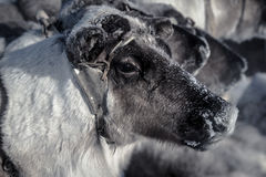 Muzzle reindeer in frost. Yamal. Shallow depth of field Royalty Free Stock Images