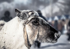 Muzzle reindeer in frost. Yamal. Shallow depth of field Royalty Free Stock Photo