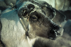 Muzzle reindeer in frost. Yamal. Shallow depth of field Royalty Free Stock Photography
