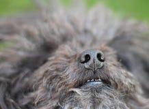 Muzzle of Russian Tsvetnaya Bolonka from close-up. Bolognese dog.  stock image