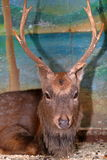 Muzzle of a sad brown deer in zoo cage Stock Images