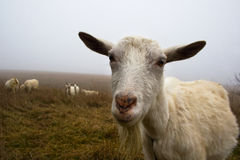 Muzzle sad goat Royalty Free Stock Photos
