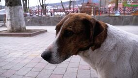 Muzzle of a Sad Stray Dog with Sad Eyes Outdoors in a City Park. Slow Motion