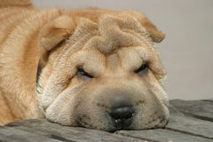Muzzle of a shar pei Stock Photography