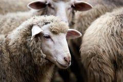 Muzzle sheep. Breeding animals Cold autumn. Muzzle sheep. Breeding animals. Cold autumn. Dirty coat. Herd of sheep Stock Photography