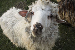 Muzzle sheep closeup Royalty Free Stock Images