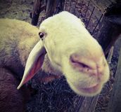 Muzzle of a sheep photographed with fisheye lens. With vintage style effect Stock Image