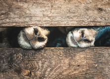 Muzzle sheep and wooden cage. Sheep in a wooden cage asking for food stock photo