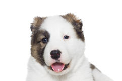 Muzzle Shepherd puppy Royalty Free Stock Image