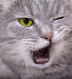 Muzzle of the shouting angry cat with the blinked eye and an ope Stock Images